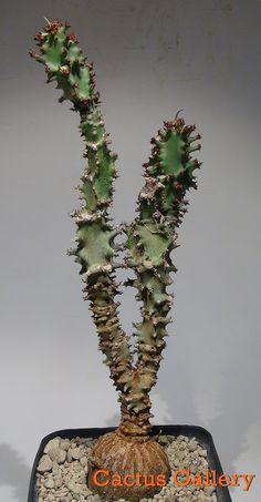 Monadenium magnificum Cactus Gallery