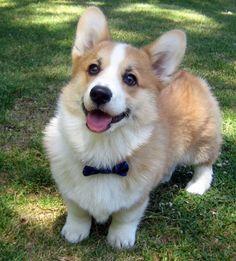 Dapper Corgi - they are literally the happiest dogs