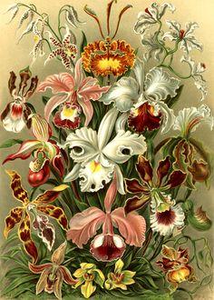 Ernst Haeckal beautiful illustration of Orchids
