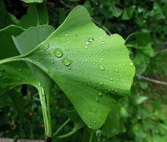 Ginkgo biloba a memóriánk karbantartója – BioBody Blog