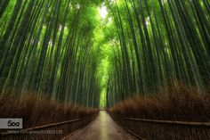 Bamboo in Kyoto by brianhammondsphotography  Asia Asian Bamboo Forest Japan Japanese Kyoto beautiful beautiful places beauty in nature forest gre