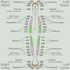 A comparison of different animal's dental charts. Horse Teeth | Dental Charts | Horse Care | Horse Health  -ontfequestrian