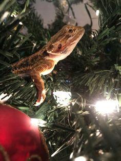 Christmas // bearded dragon ❤️