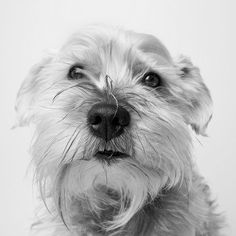 His Beard is Weird by Square Dog Photography #Miniature #Schnauzer