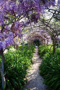 """The wisteria walk, planted in the is a triumph produced by 16 plants. """"Good old, tough wisteria,"""" says Jenni. """"The perfume is lovely when it's in full bloom in spring."""" The mauve flowers are complemented by the deep-green leaves of the massed agapanthus. Australian Garden, Australian Homes, Most Beautiful Gardens, Amazing Gardens, Magical Gardens, Garden Arbor, Garden Paths, Colorful Garden, Tropical Garden"""