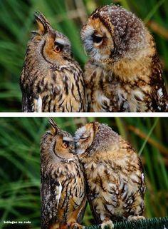 Amazing wildlife - Owl's love photo #owls