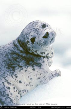 Seals are animals that have two flippers, male, females do look similar.  They don't walk on land as well.
