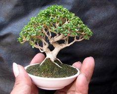 Mini baby bonsai tree
