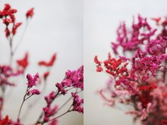 red, pink, coral, cerese, flowers | Elephantine