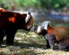 E alguns beijos especiais. | Essa adorável e tímida filhote de panda vermelho fez a sua estreia com uma ajudinha da sua mãe
