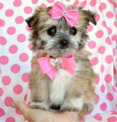 Tiny Teacup Malchi PuppyCute as  button!!15 oz at 8 weeks! SOLD! Moving to Kuwait!