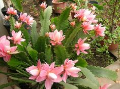 "Epiphyllum ""Empress"""