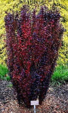 Berberis thunbergii ' Helmond Pillar ' Upright Red Japanese Barberry