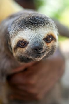 sloth - such an adorable smiling face Cute Baby Sloths, Cute Sloth, Cute Baby Animals, Funny Animals, Baby Otters, Wild Animals, Pictures Of Sloths, Animal Pictures, Nature
