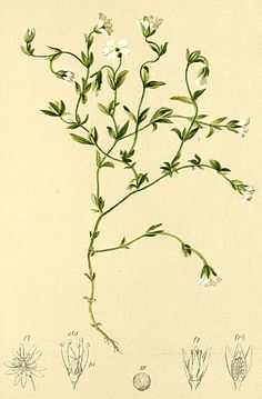 Stellaria ceratioides Atlas Alpenflora.jpg
