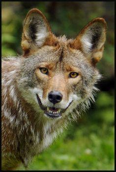Coyote by RichardRobert