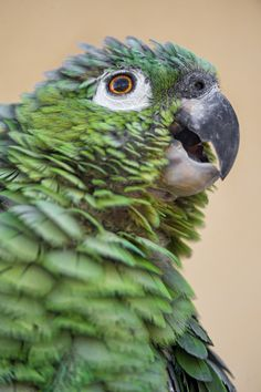Portrait of a Mealy Amazon (Amazona farinosa).