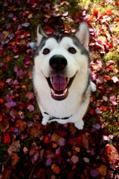 Alaskan Husky Dogs Autumn is a sweet and loving 6 month old Siberian Husky. - Alaskan Husky Dogs Autumn is a sweet and loving 6 month old Siberian Husky. Alaskan Husky, Siberian Husky Dog, Husky Puppy, Cute Puppies, Cute Dogs, Dogs And Puppies, Doggies, Happy Animals, Cute Animals