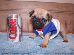 They say good things come in small packages, and these pint sized puppies are some pretty darn good evidence of that. While they may only see eye to eye with something as small as a soda can, they're big on cuteness. But they'll grow eventually, so before they grow to 2-liter size let's enjoy these …