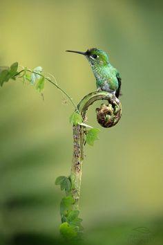 bird bokeh photography green-crowned brilliant (photo by deep green photography) green