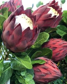 6 Absolutely Vibrant Flowers That Start With P & Their Secrets Protea - 6 Absolutely Vibrant Flowers That Start With P & Their Secrets - Protea Art, Protea Flower, Flower Pots, Plumeria Flowers, Flowers Garden, South African Flowers, Mulch Around Trees, Lawn Soil, Gardening