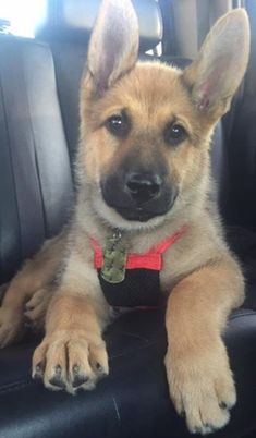 German Shepherd puppies for dog lovers check out this hilarious funny German Shepherd.. German Shepherd also known as the Alsatian is a popular dog breed for funny German Shepherd gifts for dog.