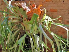Cultivo do Chifre-de-Veado | Flores - Cultura Mix