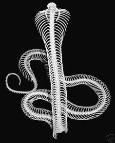 King cobra skeleton