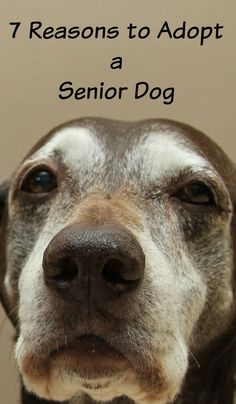 Thinking about adopting a senior dog? November is Adopt a Senior Dog Month! Here are 7 reasons why adopting an older dog is great!