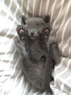 #Cats #Cat #Kittens #Kitten #Kitty #Pets #Pet #Meow #Moe #CuteCats #CuteCat #CuteKittens #CuteKitten #MeowMoe He fell asleep like this after playing peek-a-boo ... http://www.meowmoe.com/43044/