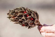 Magnolia seed pod by Bob Winning.