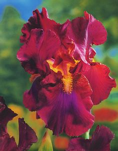 Iris- this is gorgeous. From Stanley & Iris Most Beautiful Flowers, Exotic Flowers, Beautiful Gardens, Iris Flowers, Pretty Flowers, Planting Flowers, Iris Garden, Bearded Iris, Dream Garden
