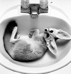 fennec fox in the sink, too cute