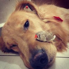 Bob, the friendly golden retriever. Bob lives in São Paulo, Brazil, along with his human and at least eight pet birds.