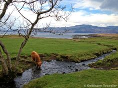 Heilan' Coo on the Isle of Mull, #Scotland http://ordinarytraveler.com/tipsarticles/plan-trip-scotland-hebridean-islands