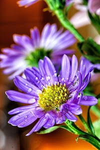 Purple Daisy by Christy Patino Photography -  Click on the image to enlarge.