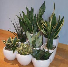 Succulent Gardening, Planting Succulents, Garden Plants, Planting Flowers, Best Indoor Plants, Exotic Plants, House Plants Decor, Plant Decor, Sansevieria Plant