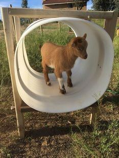 Image result for Toys For Goats