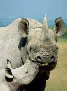 Rhino Kisses