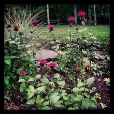 in my garden:  Raspberry wine Monarda, miscanthus, and yarrow moonshine