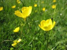 Buttercup Common Lawn Weeds, Weeds In Lawn, Yellow Flowers, Wild Flowers, Pond Life, Oranges And Lemons, Queen Annes Lace, Buttercup, Fields