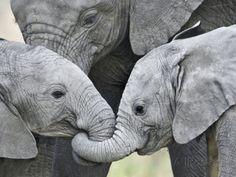 African Elephant Calves