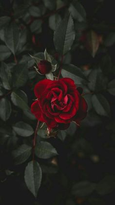 Wall paper red flowers beautiful roses ideas for 2019 Tumblr Wallpaper, Nature Wallpaper, Wallpaper Backgrounds, Iphone Wallpapers, Mobile Wallpaper, Landscape Wallpaper, Animal Wallpaper, Colorful Wallpaper, Wallpaper Quotes