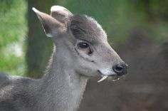 16. The Tufted Deer is a small species of deer characterized by the prominent tuft of black hair on its forehead. It is a close relative of the muntjac, living somewhat further north over a wide area of central China. It is a timid animal, mainly solitary or found in pairs and prefers places with good cover, where it is well camouflaged.