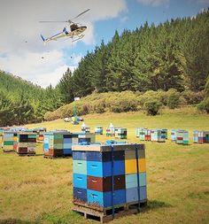 канадское пчеловодство, BeeMaid, Г. Шартье, производительность пчел