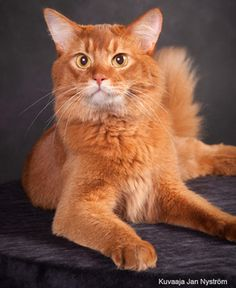 Somali Cat in Finland