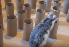 DIY Rat Treasure Hunt! A great foraging game for ratties! PetDIYs.com