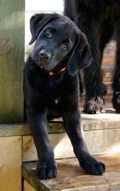 Black labs are the best ~ can I have her? I will call her Delilah.