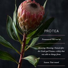 Flower Glossary: The Protea, A South African Legend Exotic Flowers, Fresh Flowers, Beautiful Flowers, Protea Flower, Flower Meanings, Flower Names, Language Of Flowers, Arte Floral, Planting Flowers
