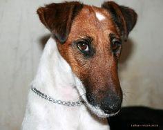 Elevage De La Tour De Cruzières - eleveur de chiens Fox Terrier Poil lisse